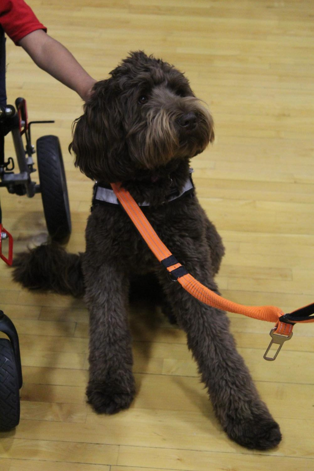 Thomas Jefferson's therapy dog, Summitt, posing for the camera at Special Olympics on November 1st, 2019.